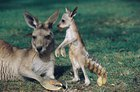 Kangaroobster
