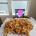 Chanterelle mushroom haul! (Seattle)